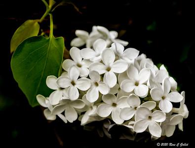 White Lilac 2020