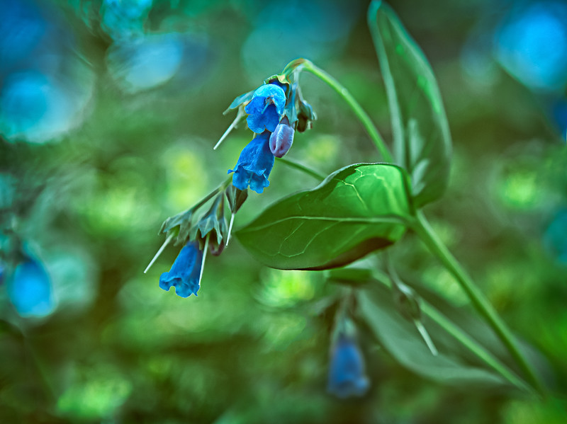 Bluebells in Bokeh