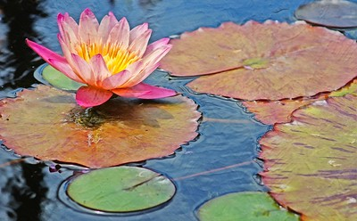 Pink and Yellow Water Lotus