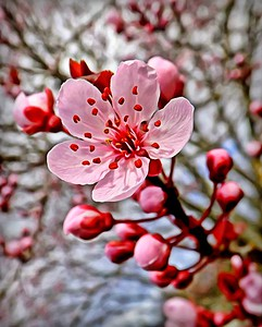 Portrait of a Sakura Blossem