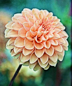 Soft and Pretty Dahlia