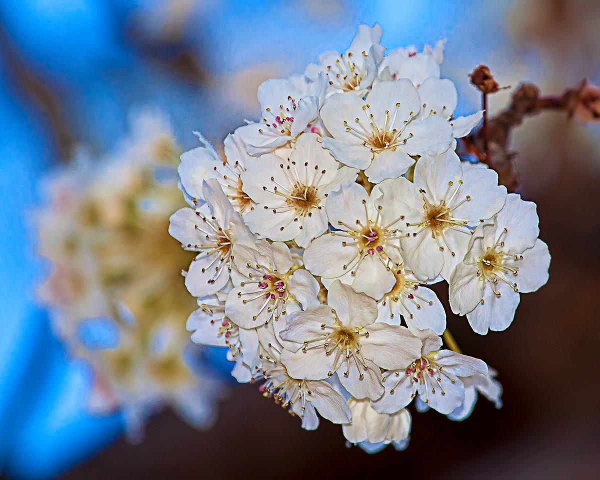Bartlett Pear Blossom 31111