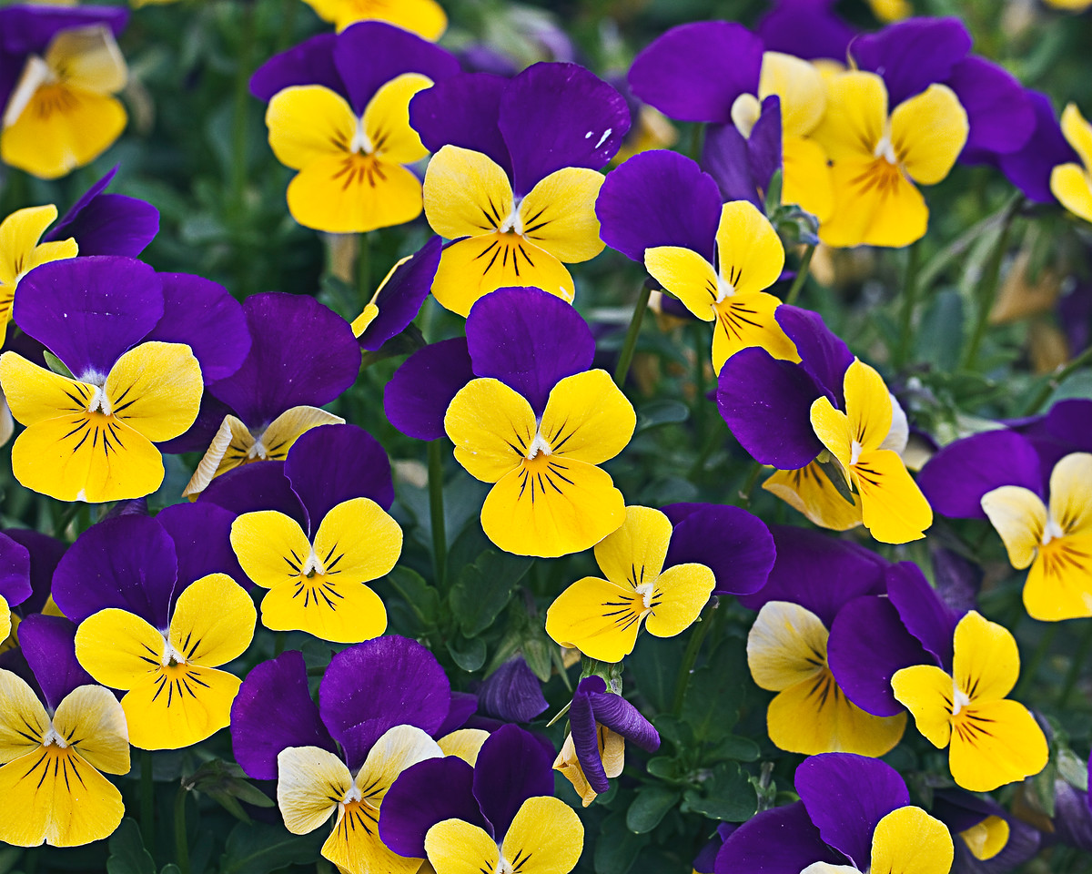 Purple Wing Violas