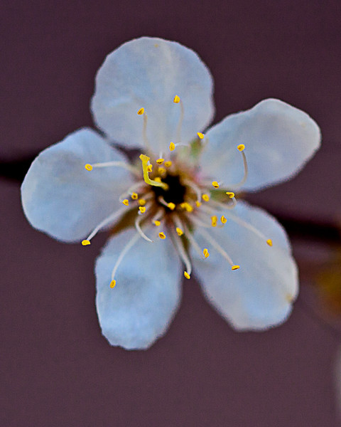 Mexican Plum Anthers
