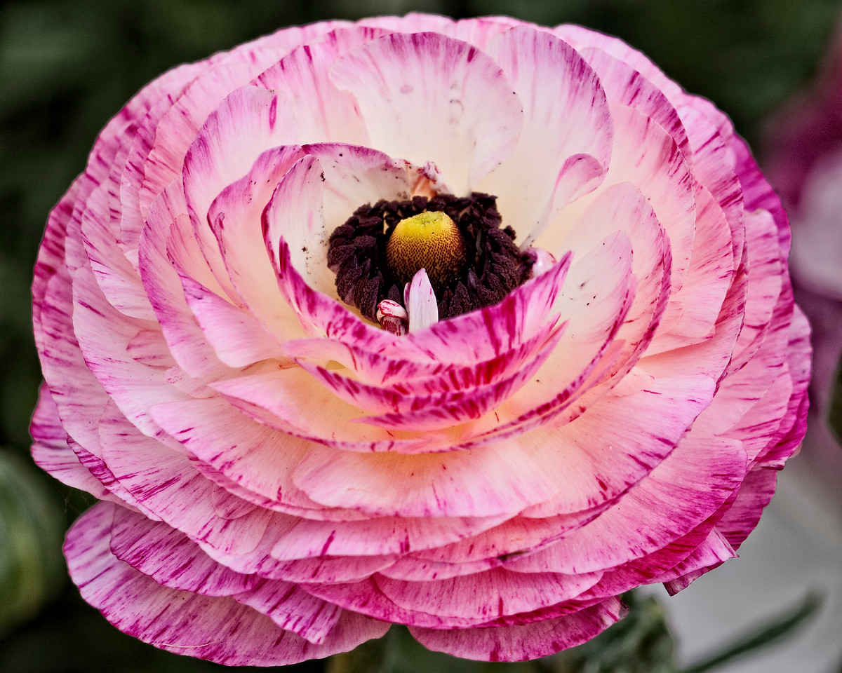 Ranunculus (pink and white)