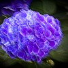 Glowing Hydrangea