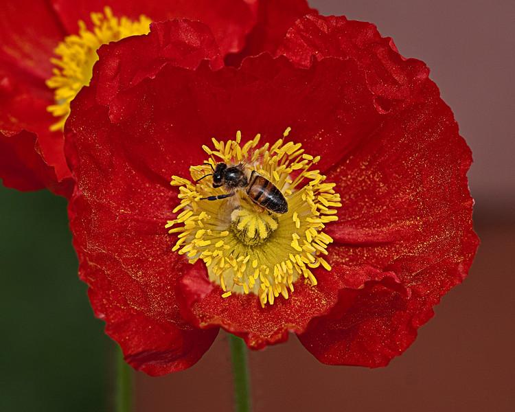 Red Bee Poppy