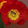 Red Bee Poppy