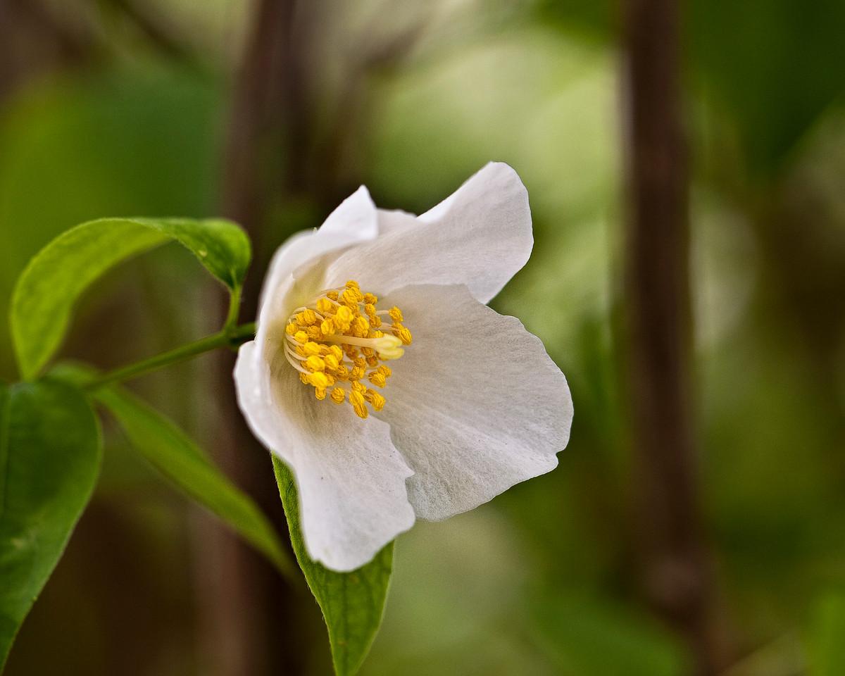Mock Orange Blossom