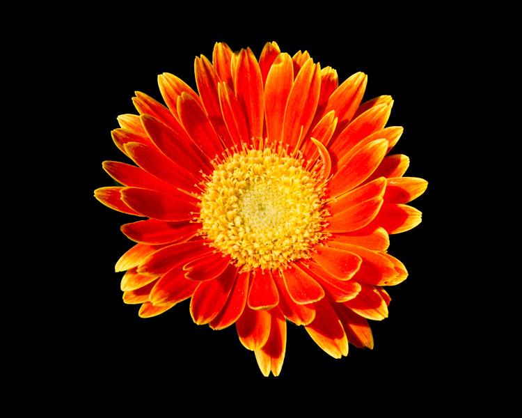 Orange Gerber-3322