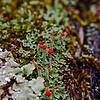 Scarlet Capped Cladonia