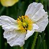 Butterfly Poppy-3173