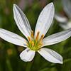 False Garlic Blossom