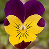 Viola (Freefall Purple Wing)