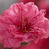 Red Baron Peach Blossom