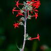 Scarlet Trumpeter