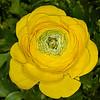 Ranunculus- 3016