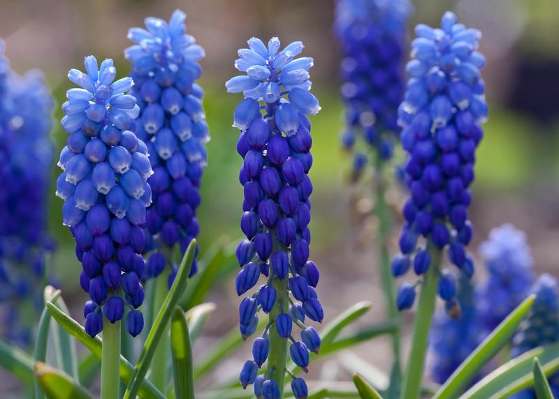Dallas_Arboretum-0356(Grape-Hyacinth)