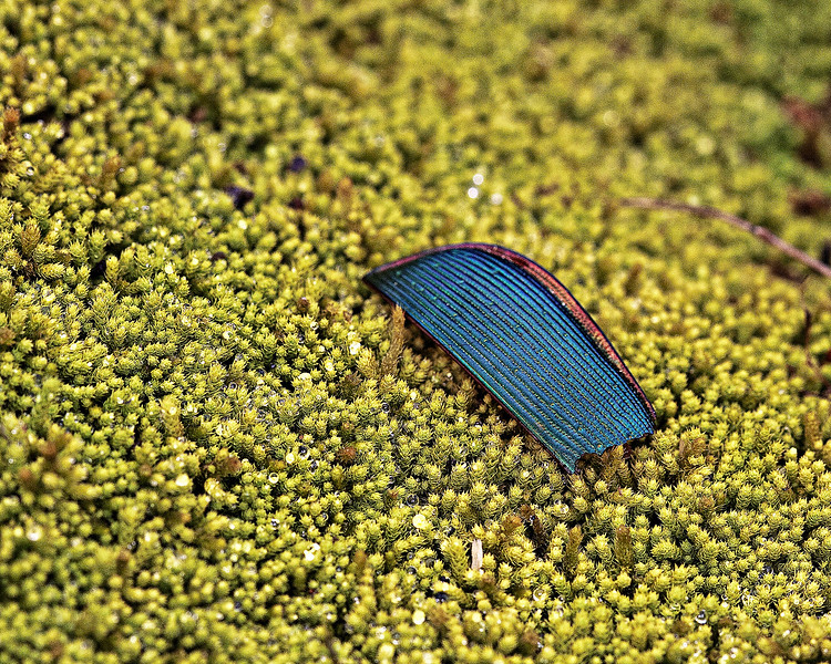 Wing cover on Moss Carpet