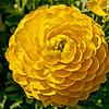 Ranunculus- 3086