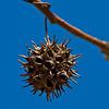 Sweetgum Seed Pod