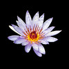 Purple Water Lily - 4125