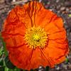 Dallas_Arboretum-0365(IcelandPoppy)