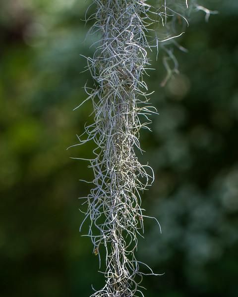 Pawleys2014-8615 (Spanish Moss)