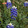 Bluebonnet Portrait