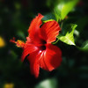 Hibiscus_in_Red