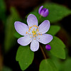 Rue Anemone (Windflower)