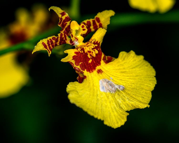 Orchid-4418
