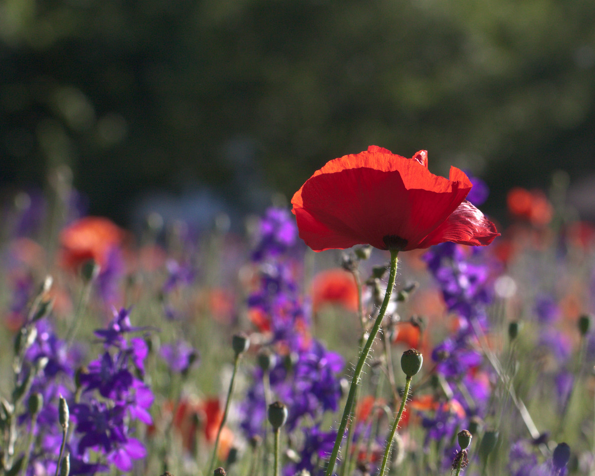 Red Poppy among Lupines