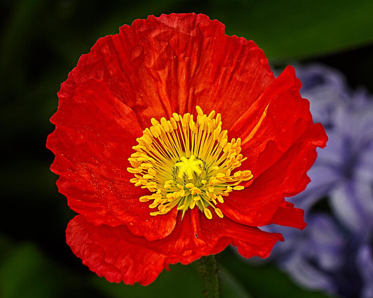Icelandic Poppy-3166