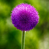 HagermanNWR2014-7303 (Thistle)