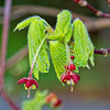 Japanese Maple Flowers2 - 2954