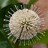 Buttonbush-Flower
