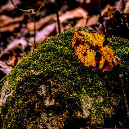 Fallen Leaf on Moss