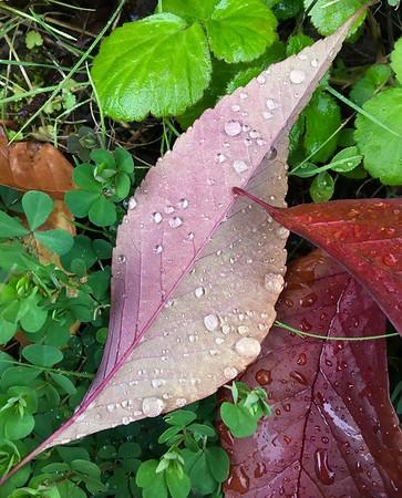 Fall leaves among clover