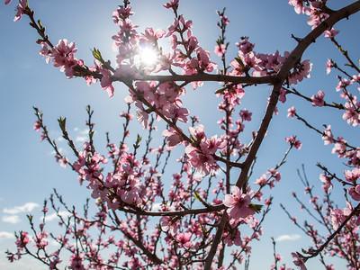 Lyman Orchards Spring 2017 Bloom