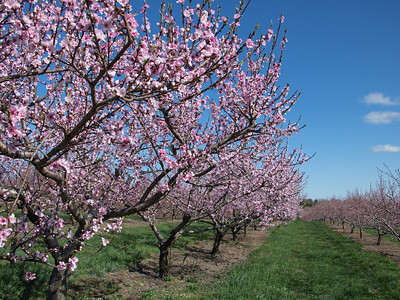 Lyman Orchards in Spring