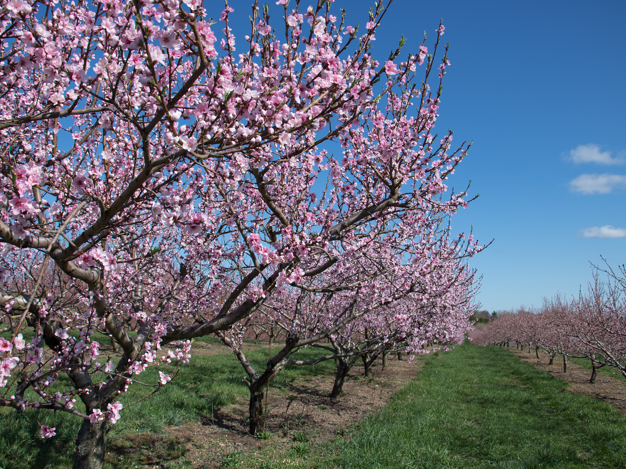 Lyman Orchards Spring 2017 Bloom