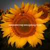 Sole Sunflower
