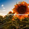 Sunflower Eclipse