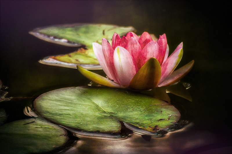 The Wonder of a Water Lily