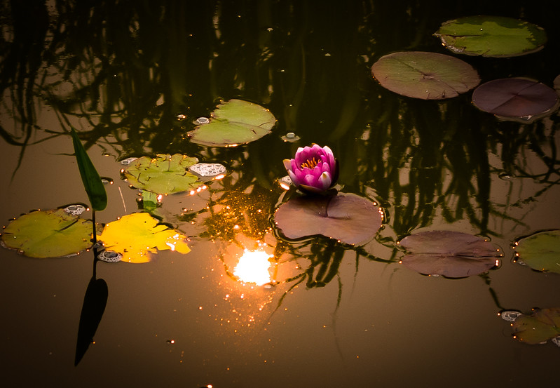 Water Lily at Sunrise