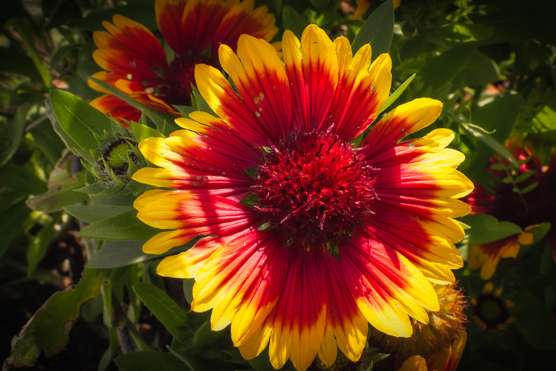 Blanket Flower in Bloom