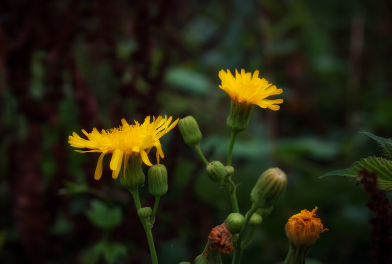 Cloudy Day Dandelions