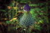 Blooming Burdock