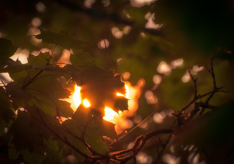 Sun in Leaves